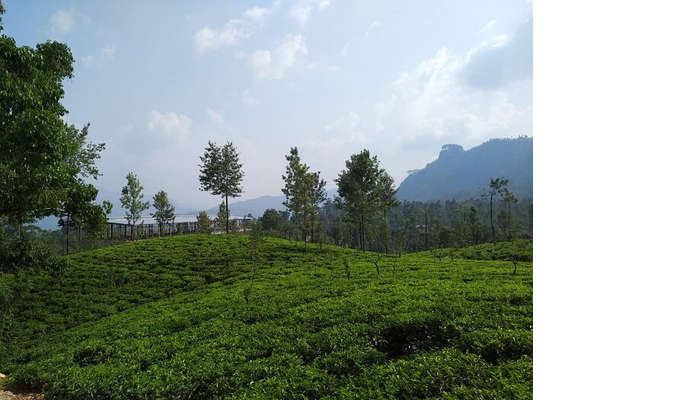 tea plantation flourished this place