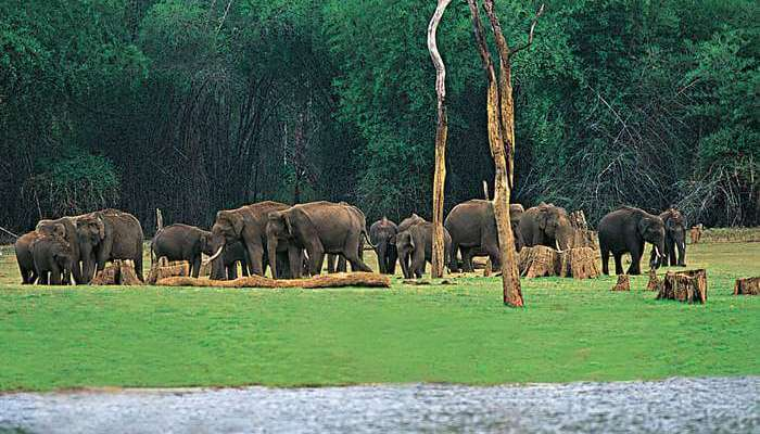 A wild elephants' herd at Thekkady - one of the most popular tourist places in Kerala