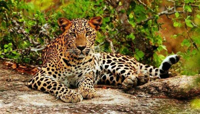 A leopard relaxing in the Yala National Park in Sri Lanka