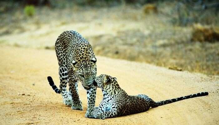 Leopardsin Yala National Park