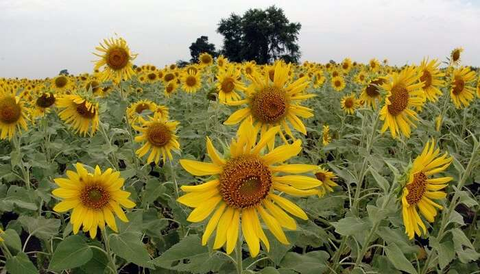 Lopburi sunflower fields