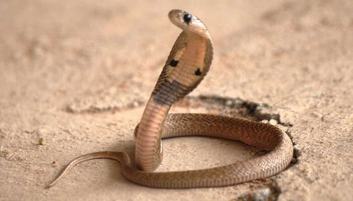 A cobra in Shetpal, a village that worships snakes in Maharashtra