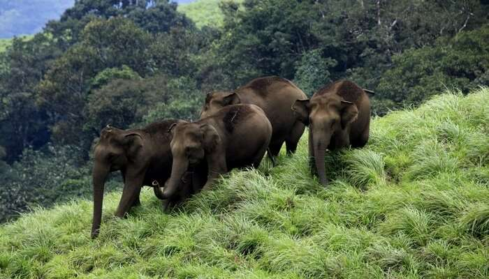 Elephants strolling at Periyar Wildlife Sanctuary