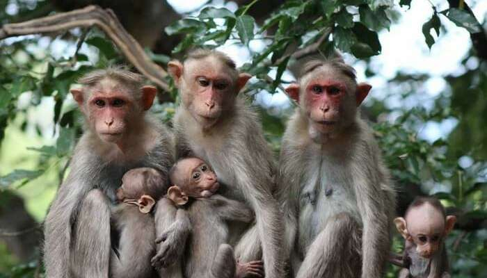 A group of Bonnet Macaques sitting on a branch of a tree in Chinnar Wildlife Sanctuary