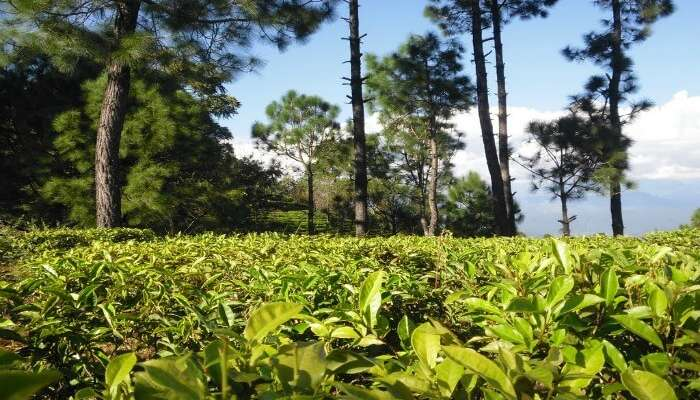 Tea Estate in Kausani