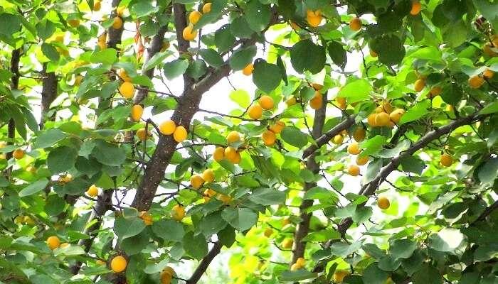 Fruits in Kausani