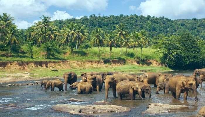 Elephants in Pinnawala Elephant Orphanage