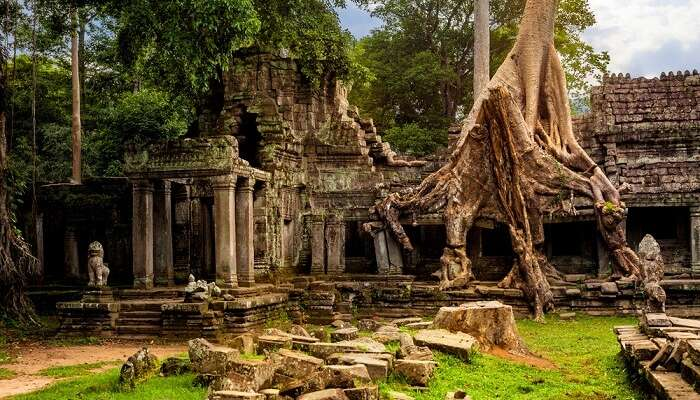 Amazing Spung tree covering the ruins of Preah Khan temple in Cambodia