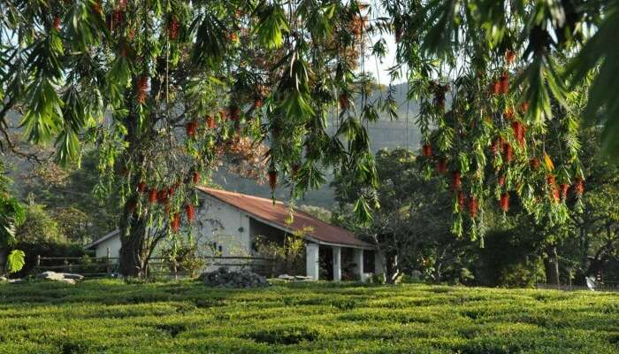 Lush greenery around Darang Tea Estate in Kangra