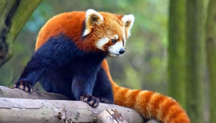spot red pandas in sikkim