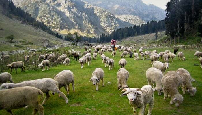 Flock of sheeps in Kashmir