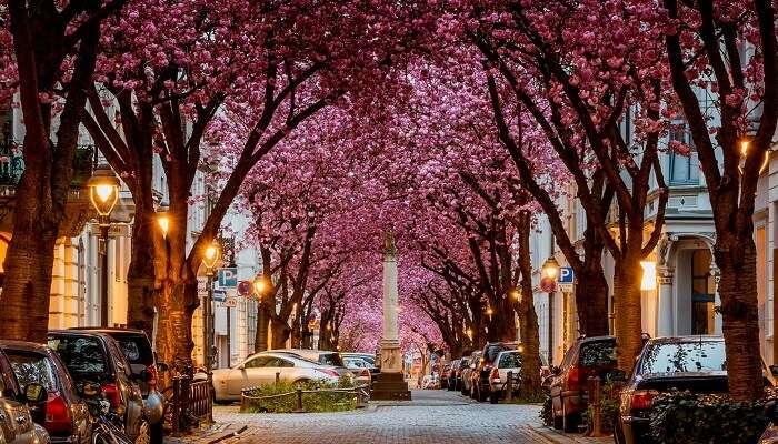 Cherry Blossom Avenue, Germany