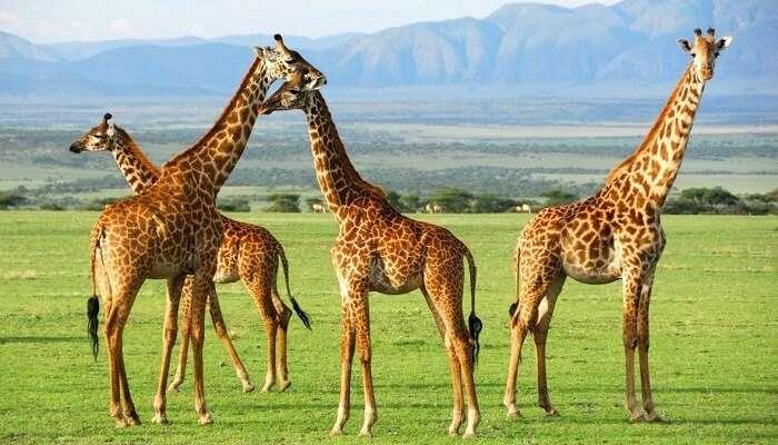 Giraffes at Serengeti National Park Tanzania