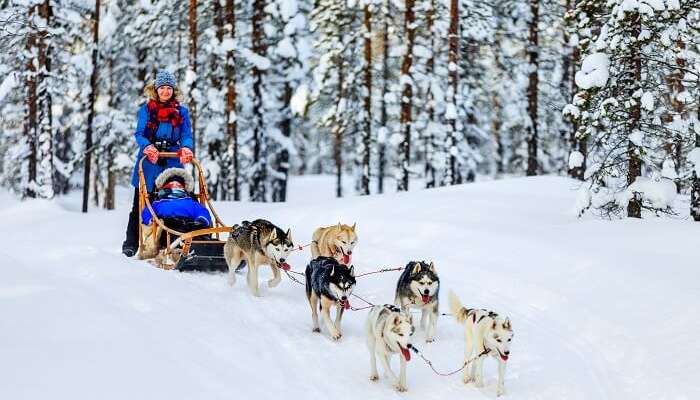 finland sleigh dogs