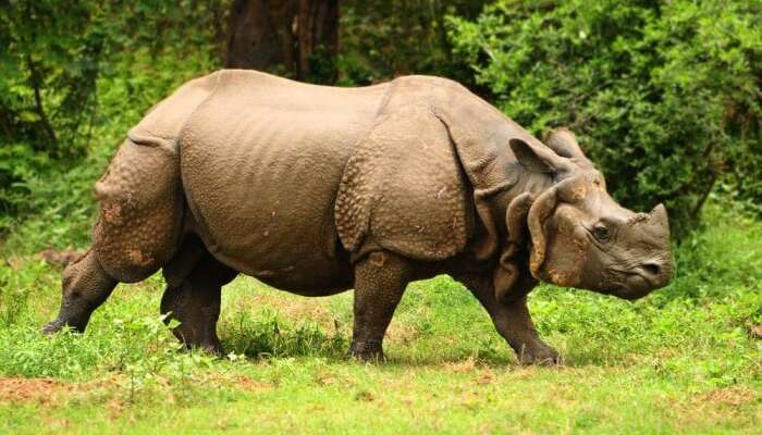 Great-Indian-one-horned-rhinoceros