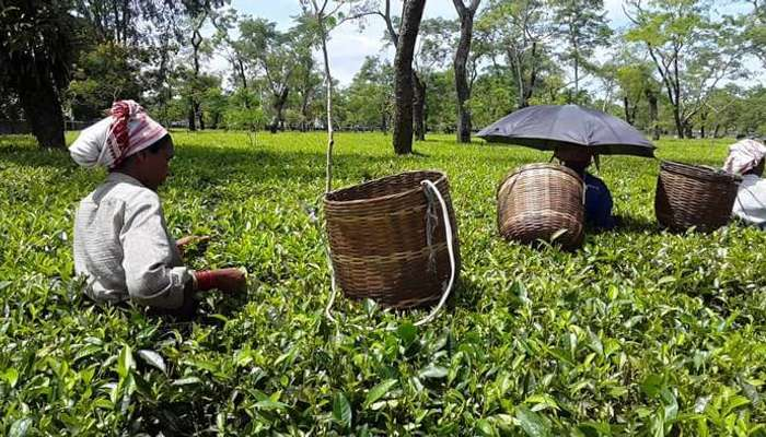 15 Best Tea Estates In Assam That Are A Must-Visit For All