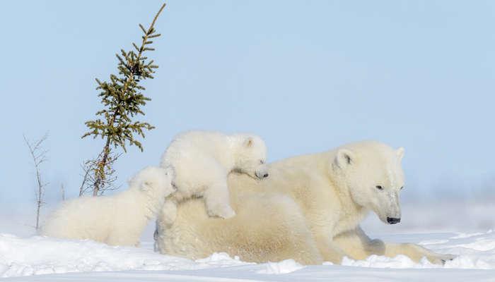 polar bear family in Wapusk National Park