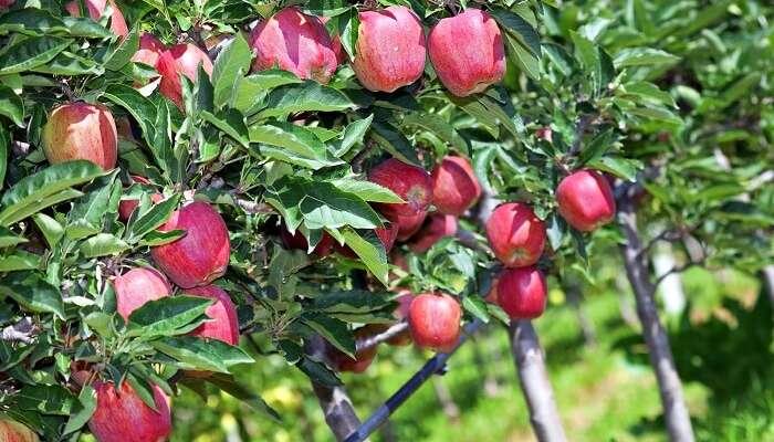 Wander Amid Apple And Walnut Plantations uttarkashi