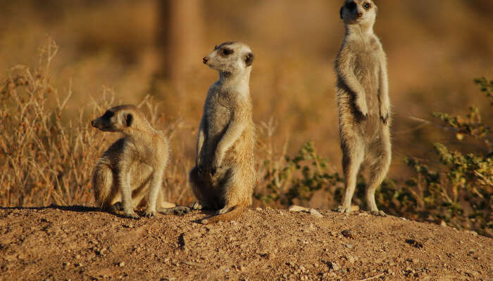 Meercats in Dubai National Park
