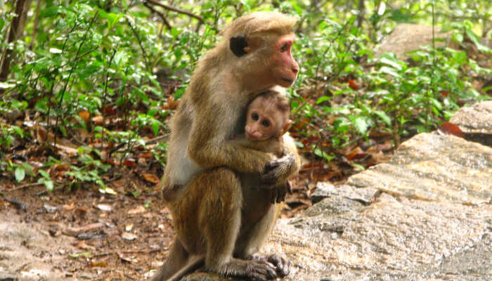A mother monkey with its child at the Gal Oya National Park in Sri Lanka