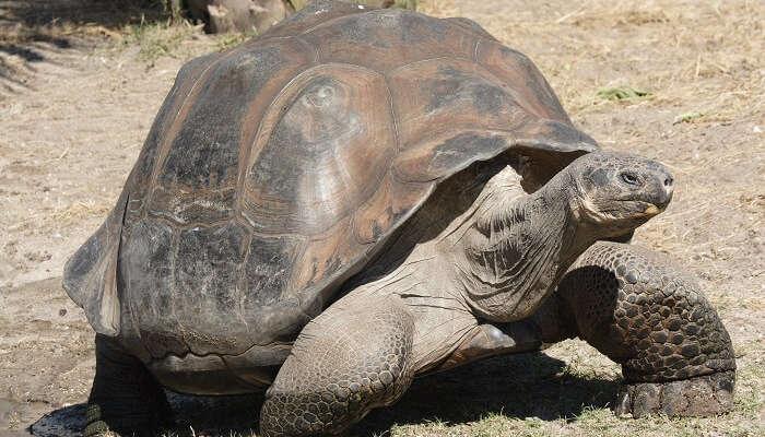 Giant Tortoises