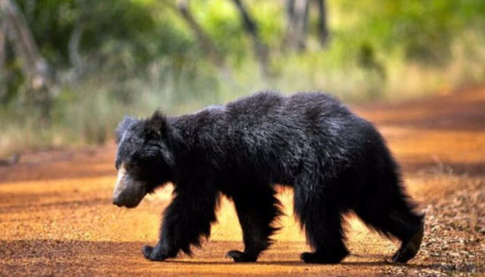 Wild bear in Yala National Park in Sri Lanka