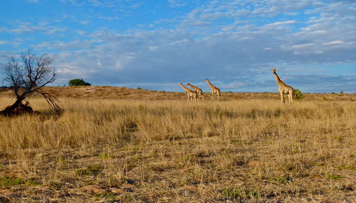 How To Reach Kgalagadi Transfrontier Park