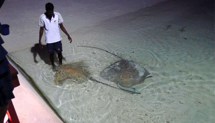 Cownose Ray Feeding