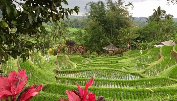 Jatiluwih-Rice-Fields-Entrance-Fee