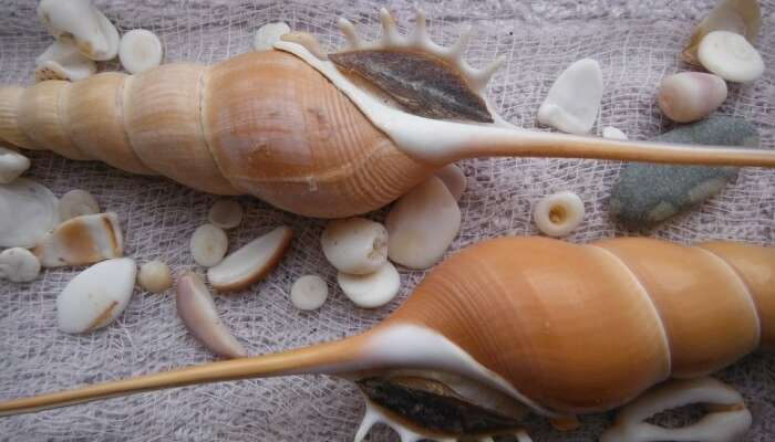 Sea Spiral Elegance Seashells