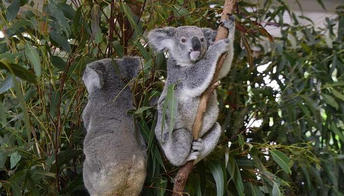 Lone Pine Koala Sanctuary : Pet a Koala Bear