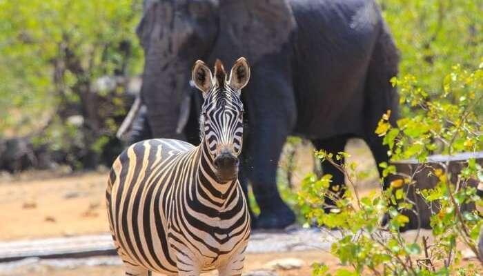 Elephant Zebra Safari