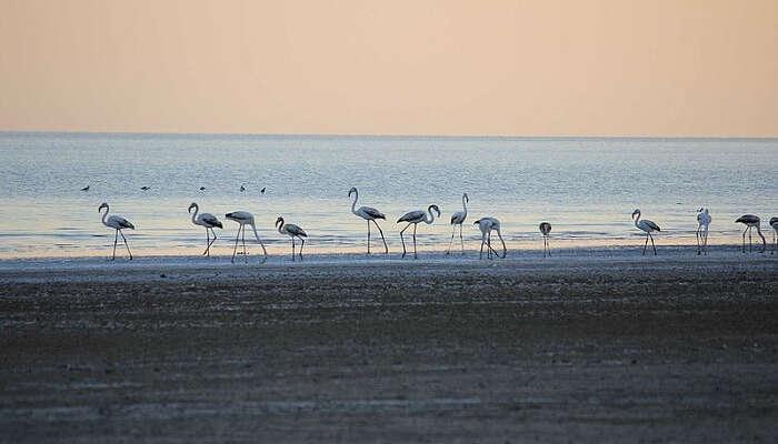 flamingos at the beach holidays Places gujarat india