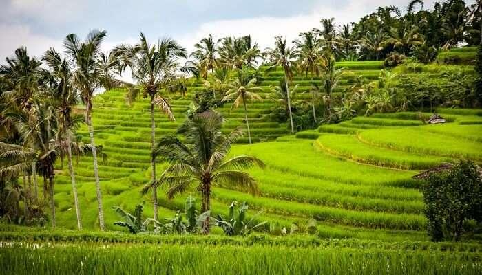 jatiluwih green land