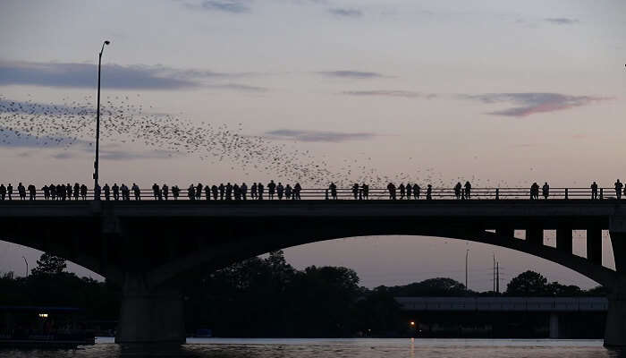 bats take flight on the congress bridge