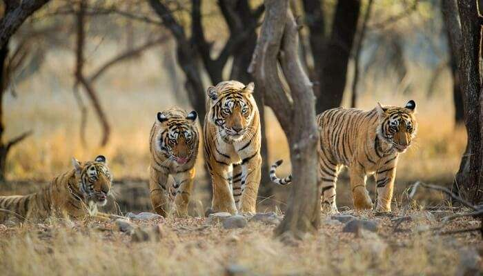tiger roaming in the wild in Ranthambore National Park