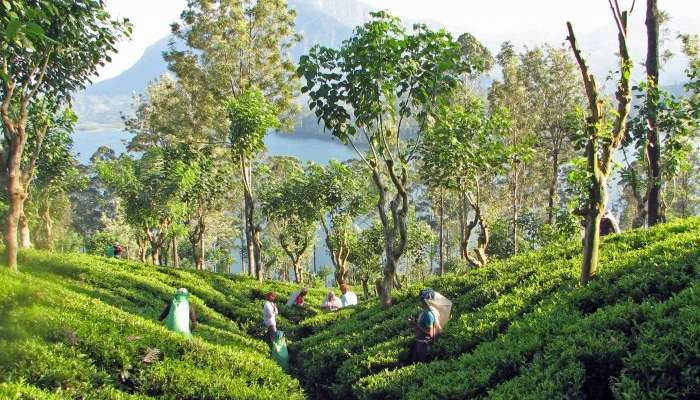 Tea garden in Sri Lanka