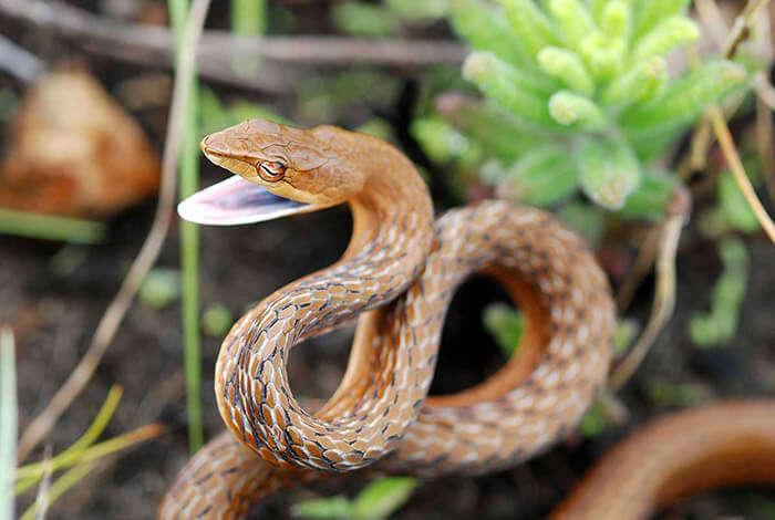 A deadly snake baring its fangs at the Eravikulam National Park in Munnar