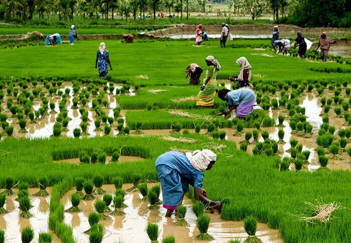 Women working in a paddy field in the village of Kuttanad in Alleppey