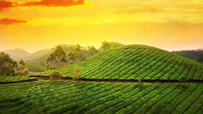 The beautiful tea plantation at Munnar in Kerala