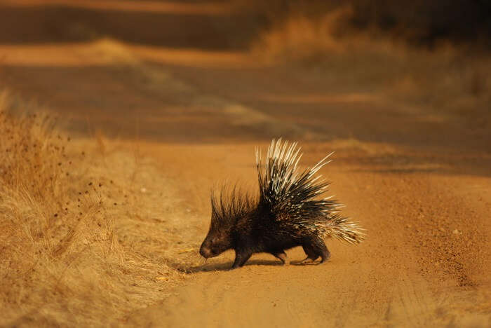 spot porcupines at gir national park