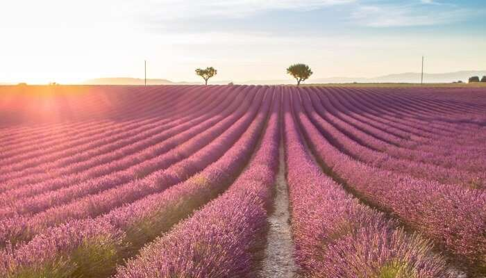 Lavender fields in Provence, Italy