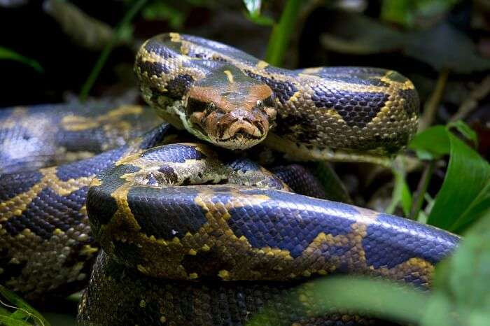 spot pythons at gir national park