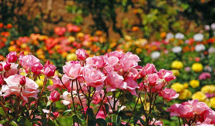 Colourful roses at the Rose Garden near Munnar