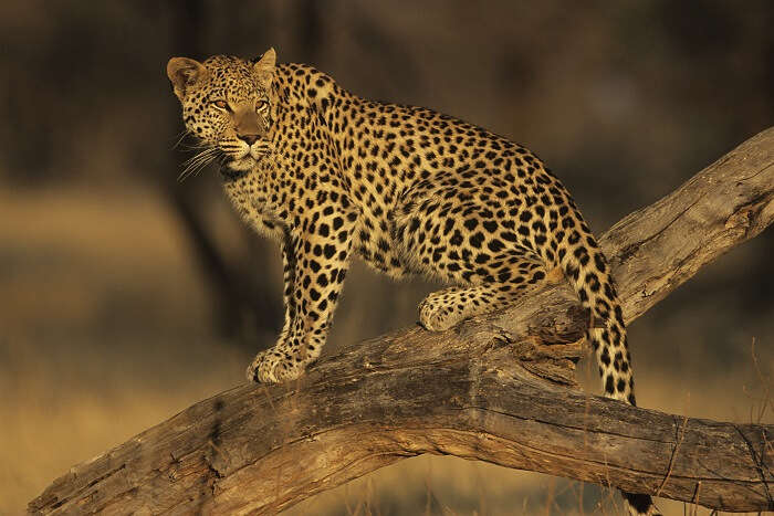 spot leaopards at gir national park