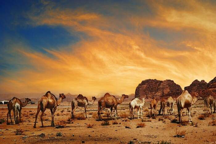 Camels in the Arabian Desert in Wadi Rum