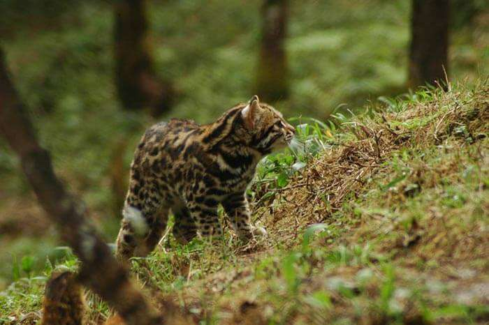 Cute little cub playing at Himalayan Zoological Park in Gangtok