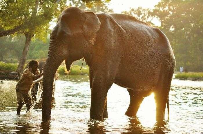 Elephant bathing at the Dubare Elephant Camp, Madikeri