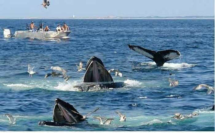 Blue huge whales in the deep sea water, Sri Lanka