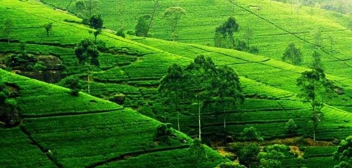 Sri Lankan premium quality tea plantations